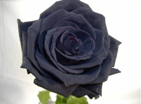 rosanegra